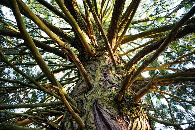 Tronco de uma velha árvore alta