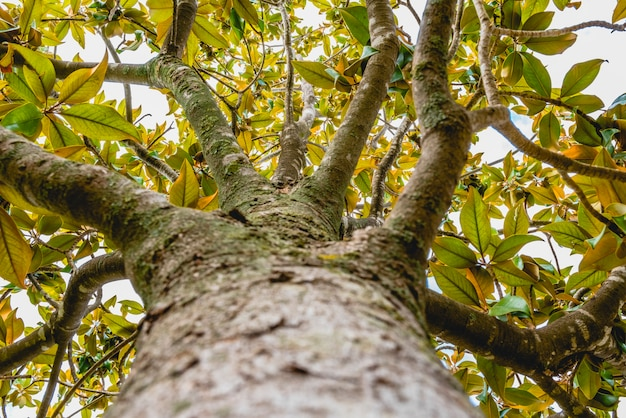 Tronco e galhos de uma árvore magnolia
