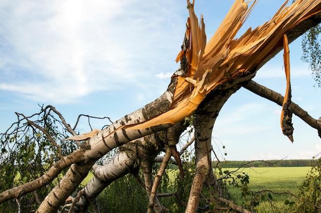 Tronco quebrado de uma bétula em clima de tempestade, fotos em close, céu azul ao fundo