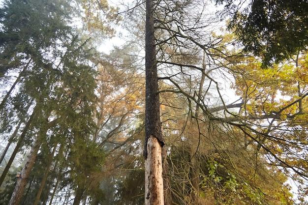 Tronco seco de abeto com casca esfoliante, abeto doente danificado por besouro da casca, floresta de outono