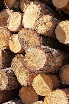 Troncos de árvores derrubadas, dobradas durante a colheita da madeira. pinheiro, primavera do ano