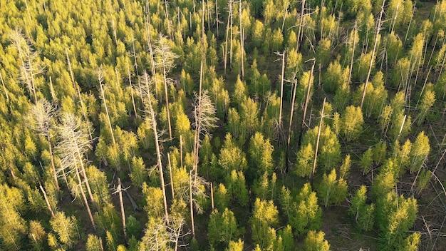 Troncos de árvores secos e queimados na floresta do topo
