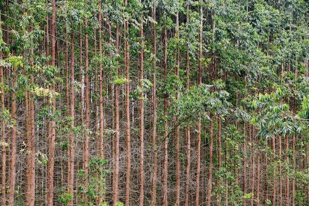 Troncos de eucalipto em composição simétrica