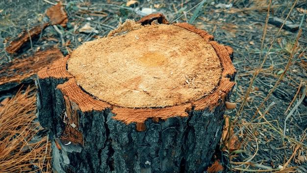 Troncos de pinheiro na natureza