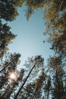 Troncos retos de altos pinheiros sob o céu aberto.
