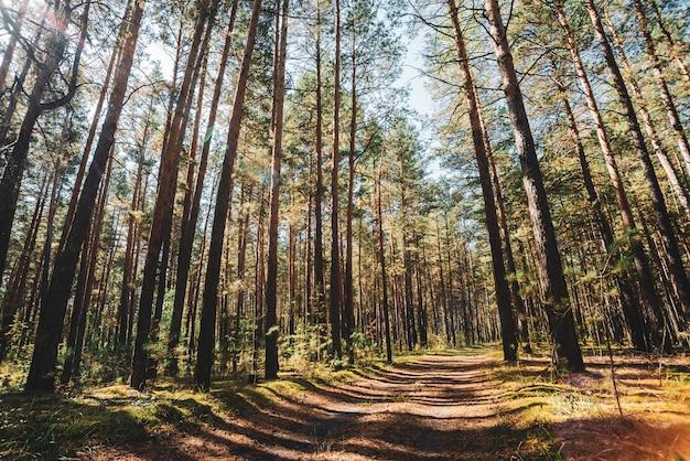 Troncos retos de pinheiros altos em dia de sol.