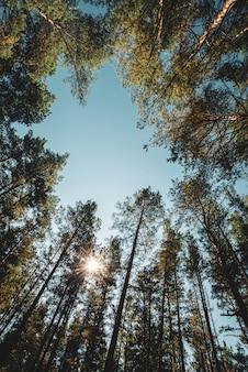 Troncos retos de pinheiros altos sob céu aberto