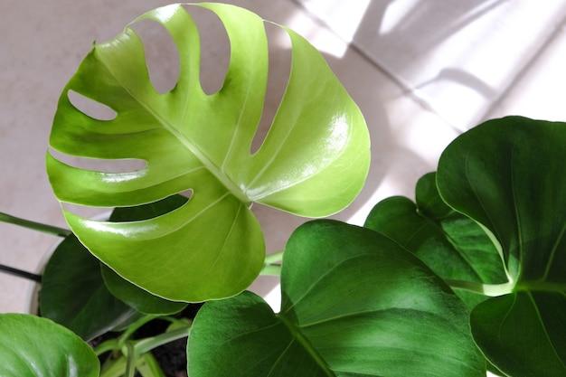 Tropical monstera deliciosa em fundo bege jardinagem doméstica conceito moderno minimalista close-up fl ...