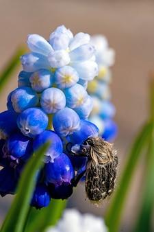 Tropinota hirta come flores. conceito de controle de pragas inseticida.