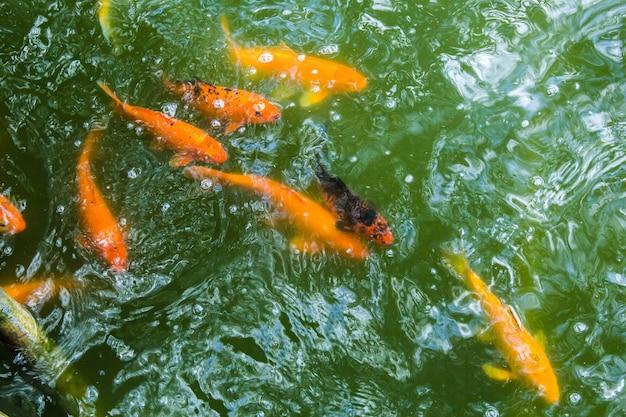 Truta dourada subaquática
