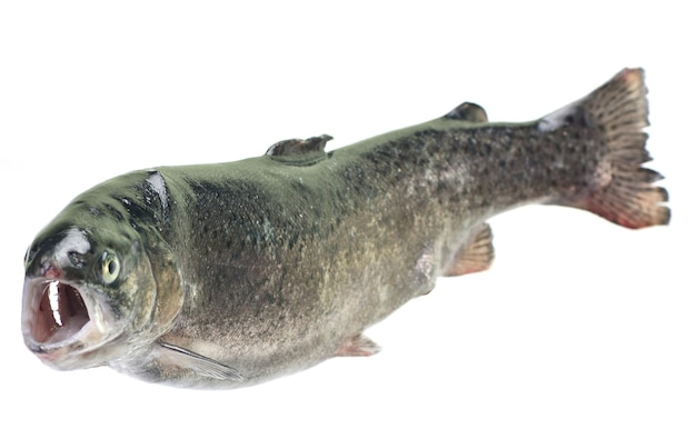 Truta peixe