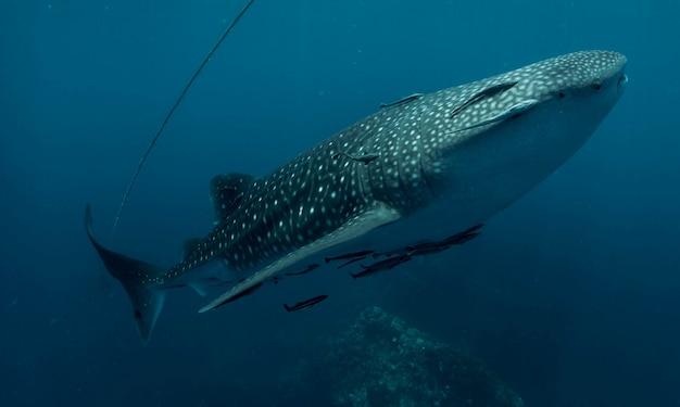 Tubarão-baleia na tailândia