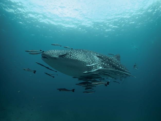 Tubarão-baleia no azul