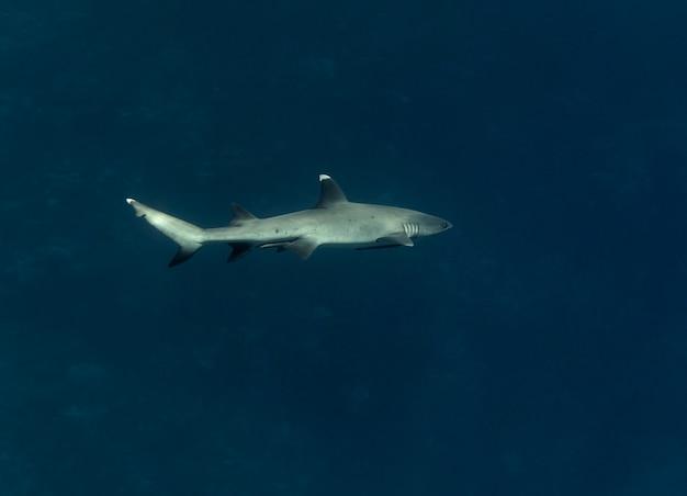 Tubarão de ponta branca de recife ou triaenodon obesus nadando no mar