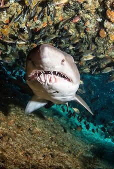 Tubarão de ponta-preta nadando em submarinos tropicais. tubarões no mundo subaquático. observação do mundo animal. aventura de mergulho na costa da áfrica do sul da rsa