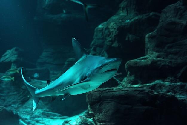 Tubarão de recife