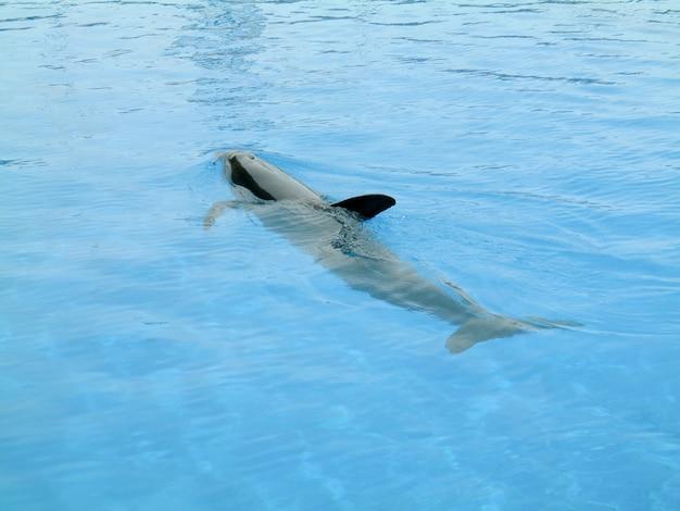 Tubarão do caribe na superfície