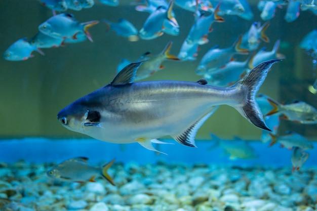 Tubarão iridescente, peixe-gato às riscas, peixe-gato sutchi