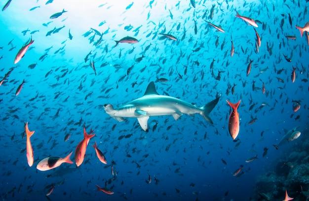 Tubarão-martelo (sphyrnidae) nadando em submarinos tropicais. tubarão-martelo no mundo subaquático. observação do oceano de vida selvagem. aventura de mergulho na costa equatoriana de galápagos