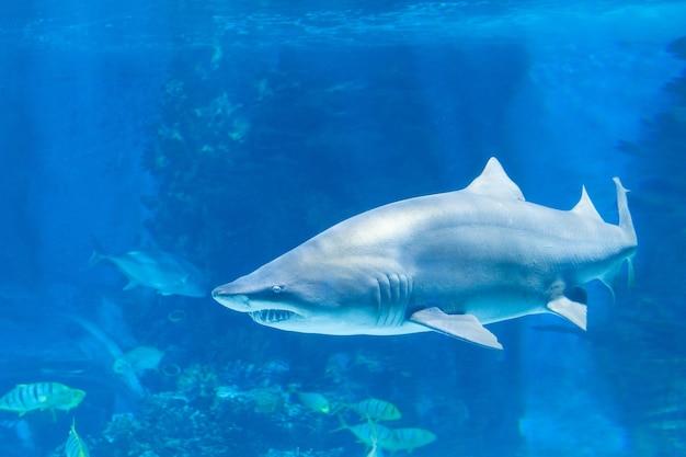 Tubarão-tigre na água do mar. tubarão grande em águas azuis profundas.