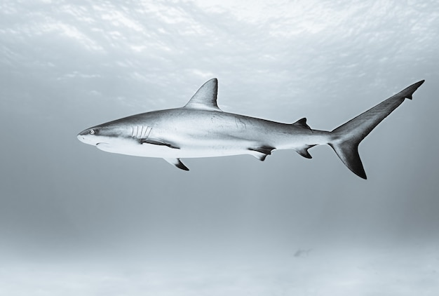 Tubarão-tigre nadando no oceano durante o dia