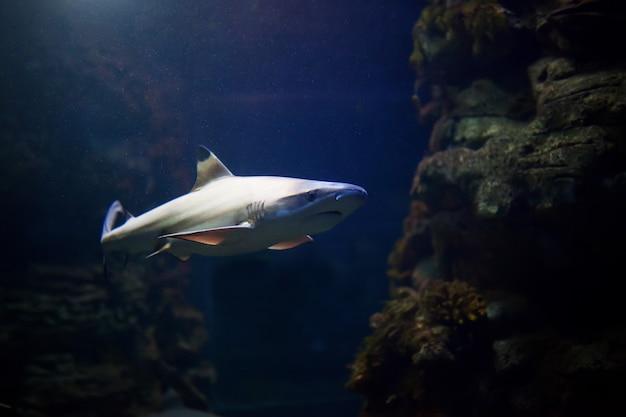 Tubarões de pontas negras nadando em águas tropicais sobre recifes de corais