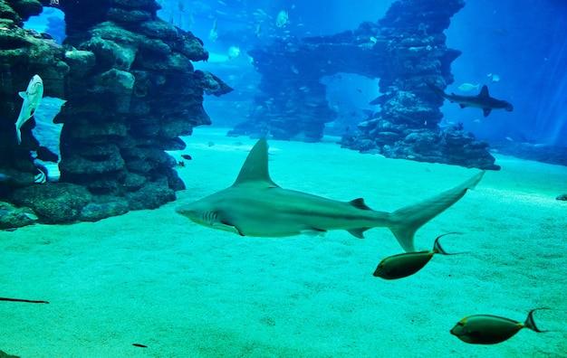 Tubarões em um grande aquário no mar vermelho nadam entre outros peixes exóticos