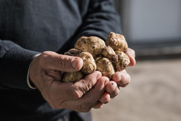 Tubérculos de alcachofra de jerusalém nas mãos. raízes recém colhidas de helianthus tuberosus, também conhecidas como sunroot, sunchoke, earth apple, topinambur ou lambchoke. usado como um vegetal de raiz.