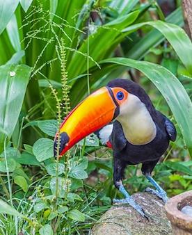 Tucano com bico laranja