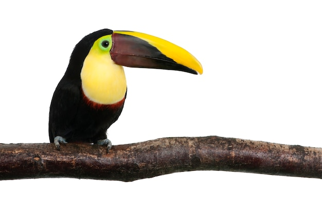 Tucano com mandíbula castanha ou tucano de swainson - ramphastos swainsonii em um branco isolado