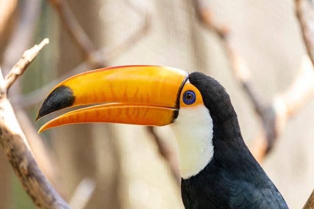 Tucano no galho. parque de pássaros no brasil.