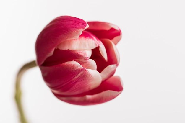 Tulipa aberta vermelha isolada na superfície branca