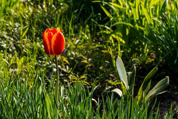 Tulipa bonita com as pétalas vermelhas e amarelas perto acima.