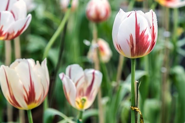Tulipa colorida na primavera