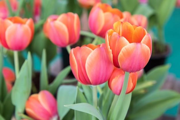 Tulipa colorida no campo do jardim