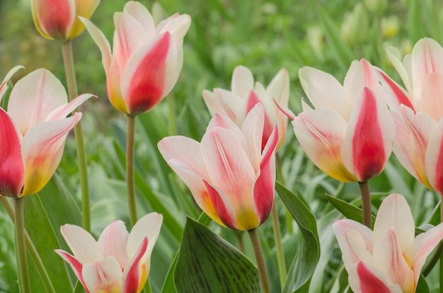 Tulipa de lenda de fronteira. lindas flores da primavera