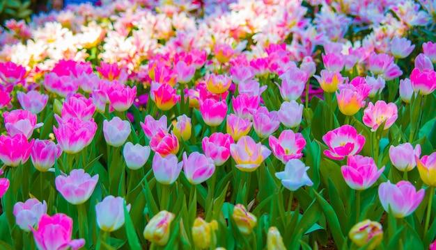 Tulipa flor cor fresca na manhã.
