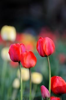 Tulipa. flor de tulipa no jardim. fundo da natureza.