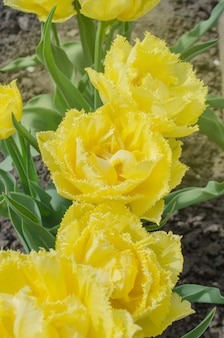 Tulipa mon amour. tulipa amarela com franjas