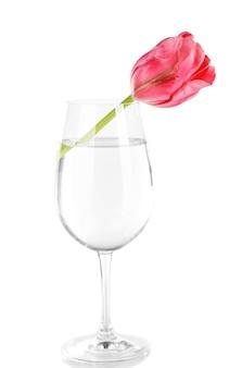 Tulipa rosa em copo de água em branco