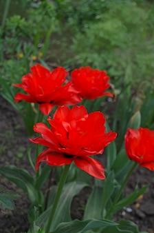 Tulipa vermelha dupla peônia red princess