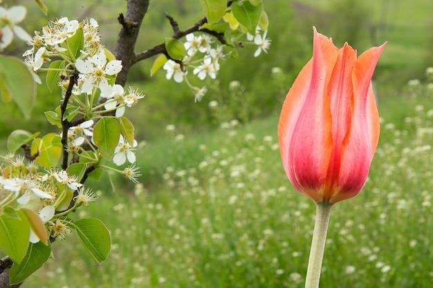 Tulipa vermelha e um galho de árvore de pêra florescendo em um pomar de primavera com fundo desfocado. bela cena rural. foco seletivo em flores.