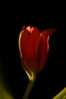 Tulipa vermelha isolada closeup