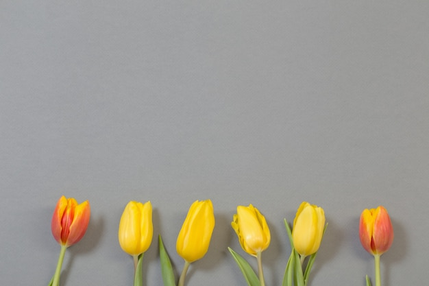 Tulipas amarelas e laranja em fundo cinza