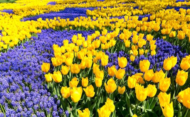 Tulipas amarelas em um jardim de primavera