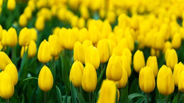 Tulipas amarelas, flores no país frio de inverno