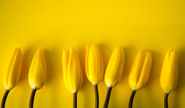 Tulipas amarelas frescas de primavera