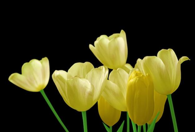 Tulipas amarelas isoladas em um fundo preto