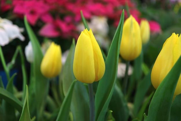 Tulipas amarelas no jardim com flores rosa e brancas embaçadas