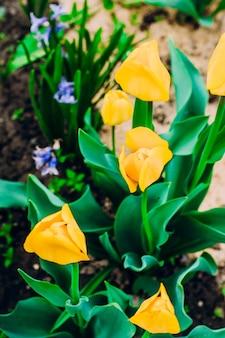 Tulipas amarelas que florescem no jardim.